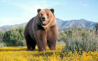 Что означает сон с медведем незамужней женщине