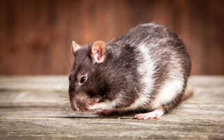 Что может означать крыса во сне!