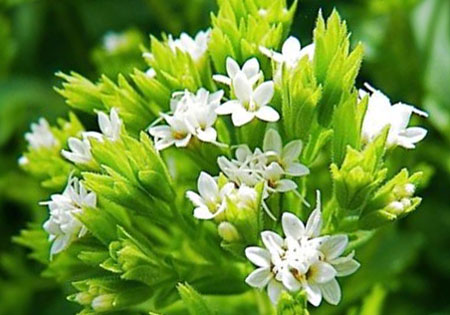 Трава стевия, польза и вред при сахарном диабете