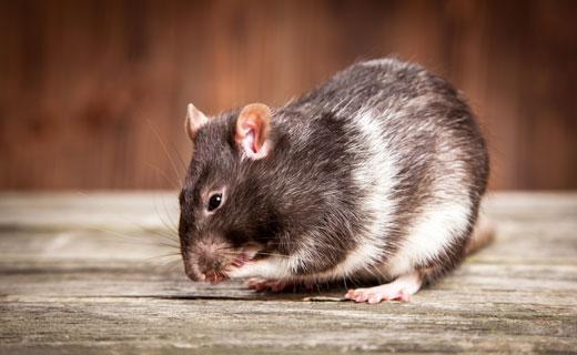 к чему снится крыса женщине большая